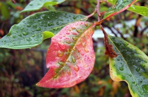 Sweet-gum leaves in early fall, just after a storm.