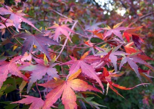 From the Japanese maple just outside my kitchen window at home in the mountains...