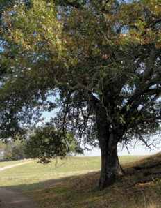 California-black-oak