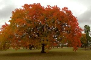 Chinese Pistache tree
