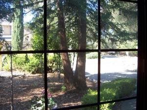 Mom's Redwood (Sequoia) tree